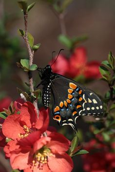 Swallowtail butterfly on quince blooms