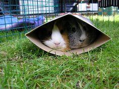 Box pigs