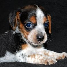 Pocket Beagle on Pinterest | Beagle Dog, Lemon Beagle and Beagles