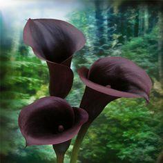 Calla lilies Schwarzwalder (Black Forest)