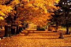 Blazing Autumn Oaks by Roger Soule