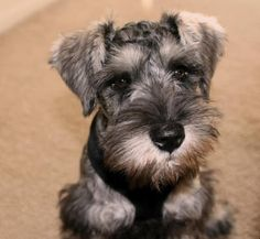 schnauzers rule, anim, stuff, pet, doggi, miniatur schnauzer, babi, ador, friend