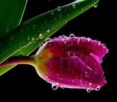 hero, farms, fabul flowerspl, wallpapers, beauti, tulips, rain, fresh tulip, water drop