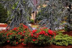 Roses and Conifers !!!Red Flower Carpet Rose surrounded by colorful conifers