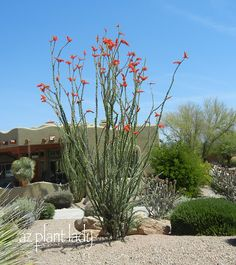 Ocotillo plant - love the vertical drama