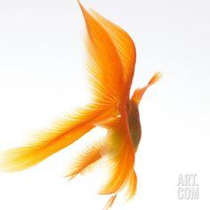 Goldfish Photographic Print by Mark Mawson at Art.com