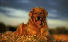 Populares raças de cães
