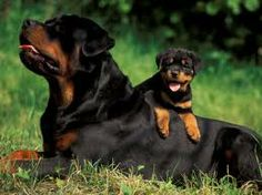 Rottweilers...oh my .. I love this! I want the little guy