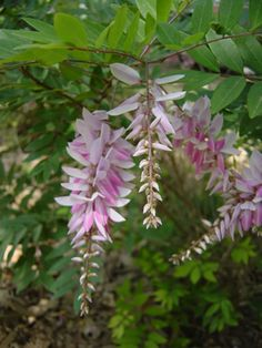 NYA - Indigofera is native to China, Japan and Korea . Indigofera kirilowii has a continuous show of pendulous rose-pink racemes all summer long. This plant will grow to be a small shrub, getting 30″ tall and 36″ wide, and is good for shade gardens under tree. Indigofera does well in calcareous soils and is sometimes used as an upright groundcover.  Hardiness Zone: 6, 7, 8, 9 Plant Use: Flowering Shrubs Exposure: Part Shade to Sun Water Requirements: Medium