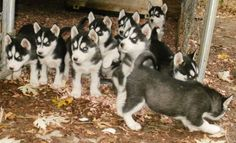 Siberian Husky puppy stampede
