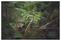 Fiddlehead Fern Photo Woodlands Nature Green by BitsofLifeImages, $30.00