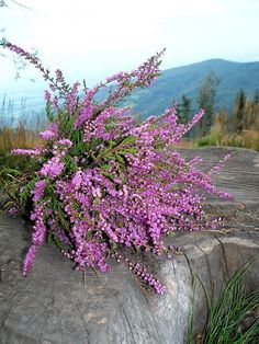 HEATHER: 1) With over 500 recorded varietals of the heather plant, winter hardiness, growing preferences,  height/width at maturity can vary greatly between cultivars 2) Evergreen shrub that can produce a wide variety of foliage colors, from orange to green with flowers coming in purple, pink, or pure white 3) Height of 2 ft  width of 3 ft 4) Tolerates poor soil very well 5) Prune annually