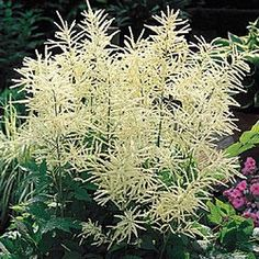 Goat's Beard. This is a fun perennial. Grows 5 feet tall and does well in shade. Could use this instead of grasses for the front yard. Can be planted behind your evergreens or shrubs to add depth. $8.99 each - would look best after the first year or two. Would need 5-7