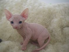 The cutest hairless kitten I've ever seen.