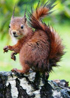 Squirrel / écureuil roux - Photo : Flickr - Jacques Chibret / Jac 31- CC