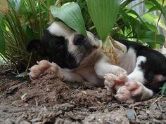 He was Lost Until Found Under a Hosta! :) - This is Titan when he was a BT Puppy! https://www.facebook.com/bterrierdogs