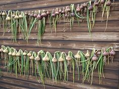 Onion curing