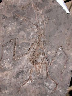 Pterosaur Fossil from Cretaceous China Sinopterus gui from Liaoning