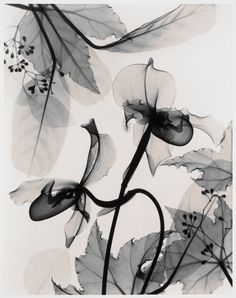 paphiopedlium (paph orchid), judith k. mcmillan, 1999.