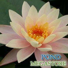 CYNTHIA ANN Water Lily (Small)