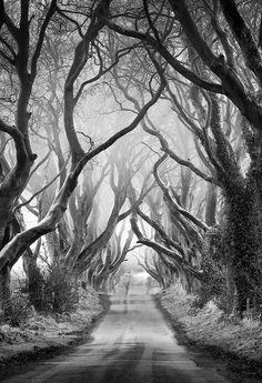 Misty Morning at The Dark Hedges in Co Antrim, Northen Ireland. The Dark Hedges is an avenue of 300 year old beech trees. Beautiful place.