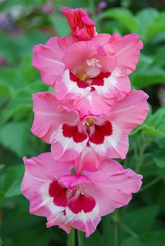 Gladiolus, Wine and Roses