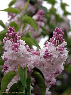 'Beauty of Moscow' Lilacs.....