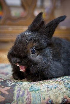 This is actually a YAWN, not a scream or anything else. Bunnies don't 'talk' but to make sweet, quiet sounds: hum, squeak, buzz, purr. <3 <3 The does often snore.