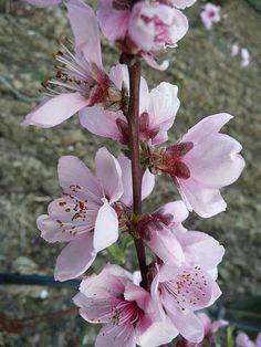Delaware State Flower - Peach Blossom