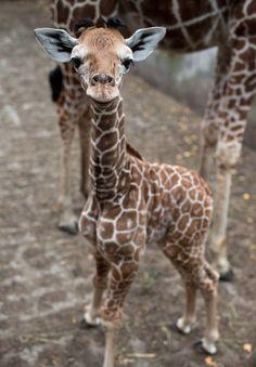 One-week-old Giraffe baby