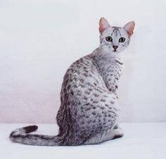 Silver Egyptian Mau.