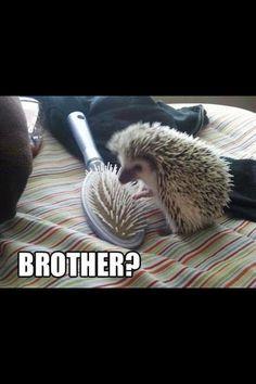 Lol poor hedge hog! hedgehog, aww, hahahah, hedge hogs, funni, hedg hog, poor hedg, thing