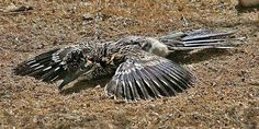 A roadrunner playing dead to protect its young.