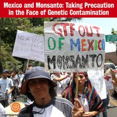 Studies have found the presence of transgenes in native maize in nearly half of Mexico's states. A study of maize diversity within the confines of Mexico's sprawling capital city revealed transgenic maize in 70 percent of the samples from the area of Xochimilco and 49 percent of those from Tlalpan. Learn more: http://www.cornucopia.org/2014/05/mexico-monsanto-taking-precaution-face-genetic-contamination #Mexico #GMOs #GEMaize #StopMonsanto