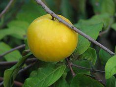 Arazá. Es una fruta originaria de la amazonia. Contiene dos veces más vitamina C que una naranja.