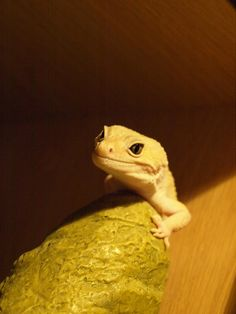 Leopard Gecko... Can't wait to own one :)