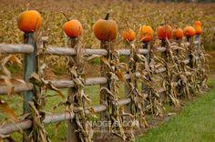 corn shocks, pumpkins