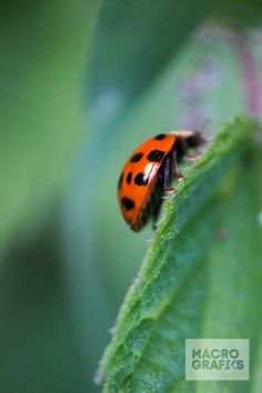 Ladybug on leaf / © Laura Baay