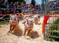 Ham Bone Express Racing Pigs | January 18 - February 3, 2013 | South Florida Fair