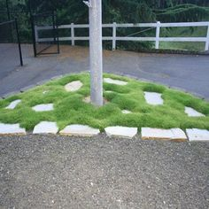 Irish Moss Ground Cover Plants