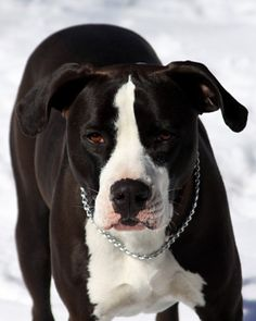 """Chloe, a pit bull acquired by Gary Branson shortly after extensive heart surgery. He calls the pit, seen here with a choke collar, a """"therapy pet"""" and claims bafflement at those who call it a pit bull; """"She's a chocolate lab."""" It was shot by police after running loose; video shows police trying to contain it, and the pit becoming steadily more aggressive. (2012, CO) http://blogs.westword.com/latestword/2012/12/dog_shooting_commerce_city_police_chloe.php?page=5"""