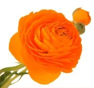 Ranunculus. Natural blooming season: Spring. Relative cost: Low-Mid