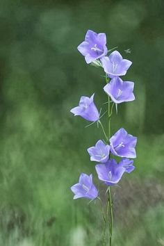 Campanula. A hardy Perennial Plant  / Groundcover
