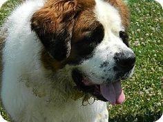 Westampton, NJ - St. Bernard. Meet Elka Rose D-61383, a dog for adoption. http://www.adoptapet.com/pet/11609201-westampton-new-jersey-st-bernard