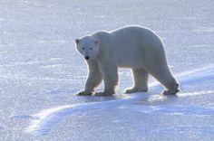 5 Weird Facts About Polar Bears