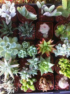 cactus pequeños de muchos tipos