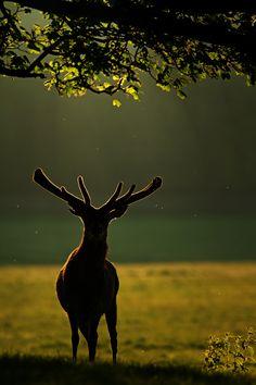 Backlit by Simon Roy, via 500px silhouett, animals, simon roy, antlers, nature photography, bird of paradise, beauty, light, deer