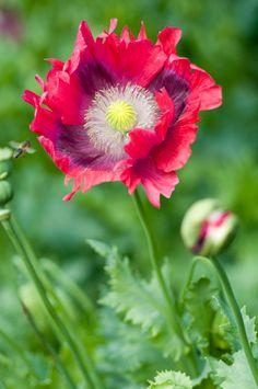 hot pink oriental poppy