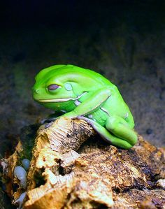 Waxy Monkey Tree Frog , is a hylid frog belonging to the subfamily of South and Central American leaf frogs