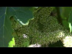 How grapevines bloom and fruit develops.